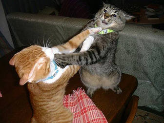 12 Cara Membuat Kucing tidak Berkelahi