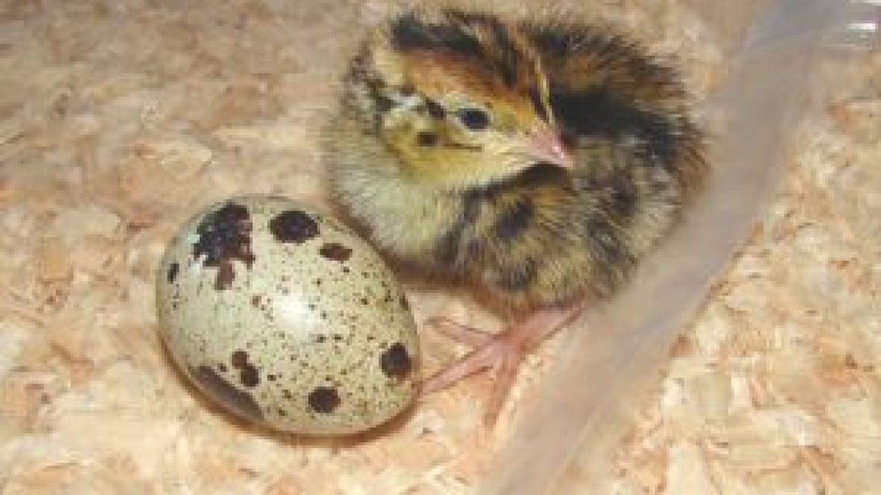 10 Cara Budidaya Burung Puyuh Skala Kecil Arenahewan Com