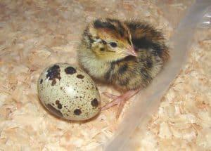 10 Cara Budidaya Burung Puyuh Skala Kecil