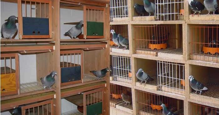 8 Cara Sukses Ternak Burung Merpati Menguntungkan