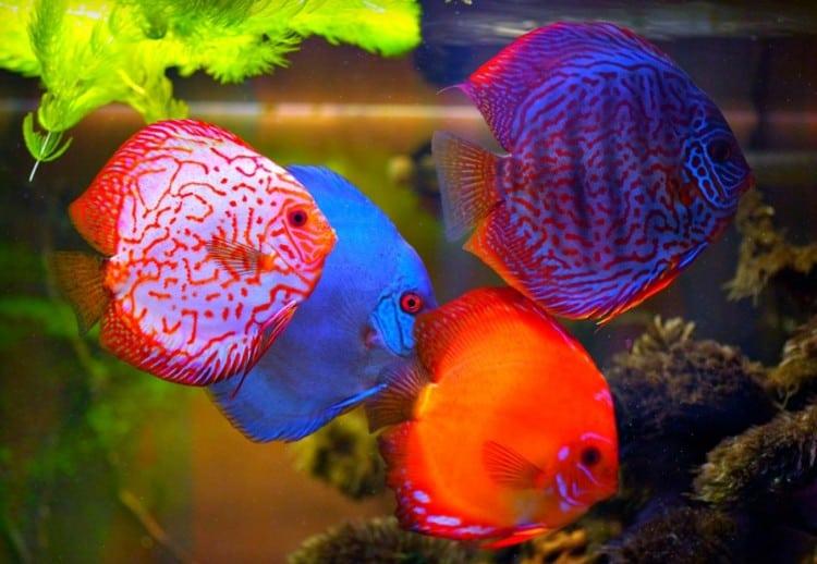 8 Cara Agar Warna Ikan Discus Keluar Lebih Indah