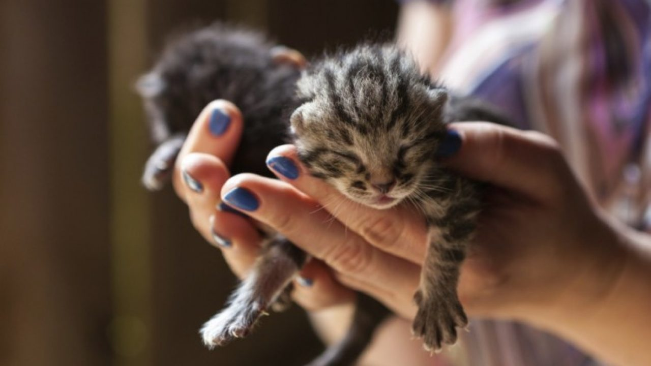 Download 89+  Gambar Kucing Persia 1 Bulan Paling Keren Gratis