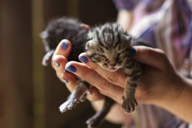 8 Cara Merawat Kucing Umur 1 Bulan Tanpa Induk Arenahewan Com