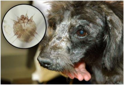 7 Cara Menghilangkan Koreng Pada Anjing