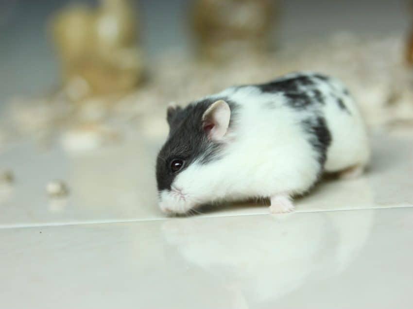 7 Cara Ternak Hamster Panda Bagi Pemula