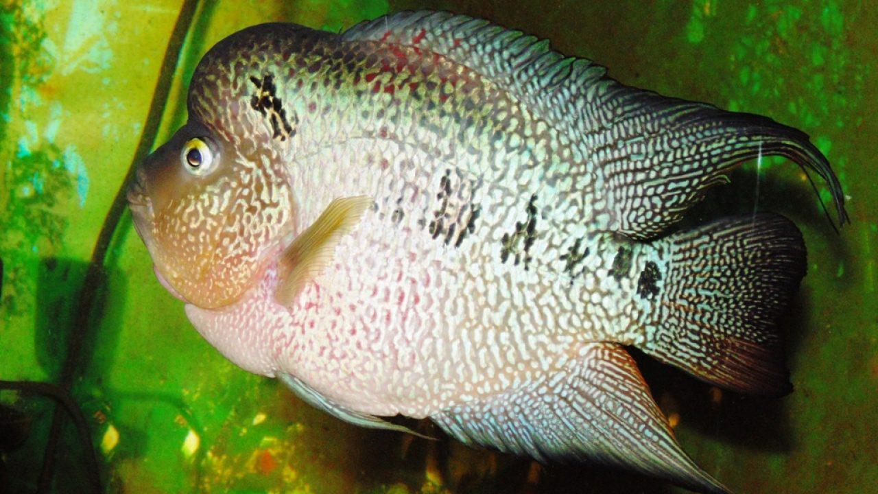 8 Cara Agar Ikan Louhan Tidak Penakut Arenahewan Com