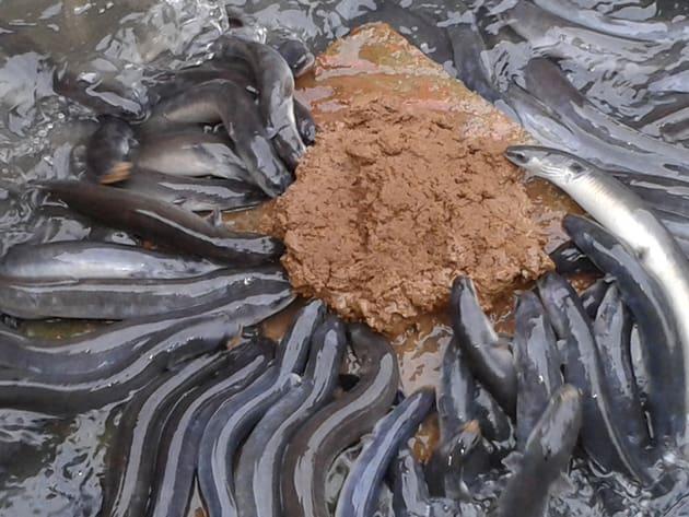6 Cara Pembuatan Pakan Ikan Sidat