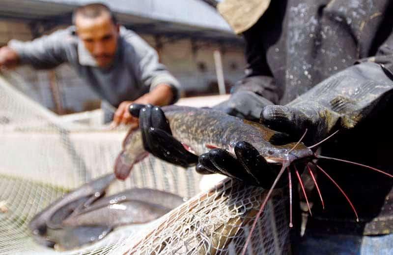 8 Cara Sukses Ternak Lele Organik Untuk Bisnis Perikanan