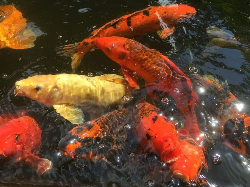 8 Cara Membuat Umpan Ikan Mas Agar Dapat Banyak