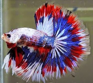 13 Cara Budidaya Ikan Cupang Agar Cepat Besar