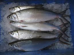 Budidaya Ikan Bandeng Semi Intensif