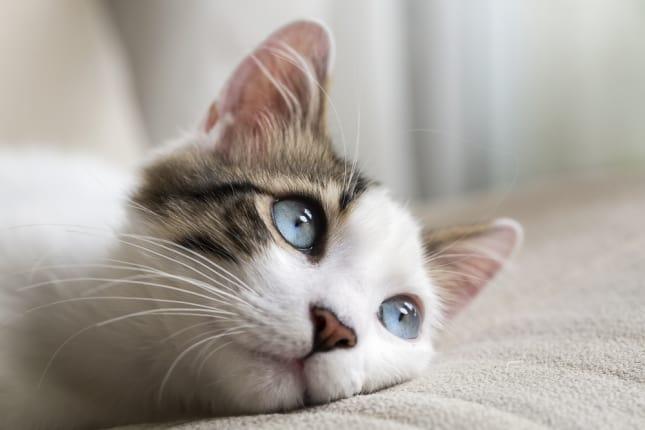 5 Manfaat Vitamin C Untuk Kucing