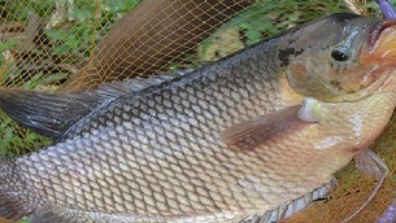 12 Cara Ikan Gurame Cepat Bertelur Arenahewan Com