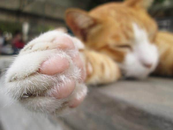 12 Fungsi Bantalan Halus pada Kaki Kucing