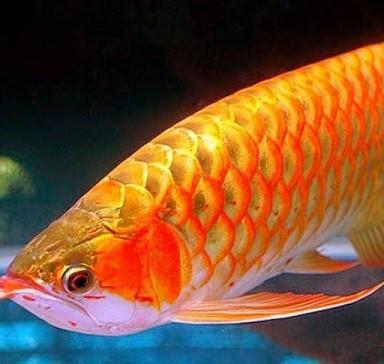 12 Cara Menghilangkan Kutu Jarum pada Ikan Arwana