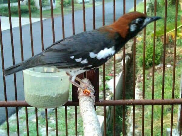12 Cara Merawat Burung Anis Kembang