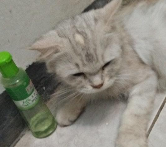 12 Efek Minyak Kayu Putih pada Kucing