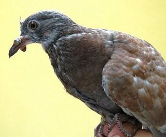 12 Cara Mengobati Patek pada Burung Merpati