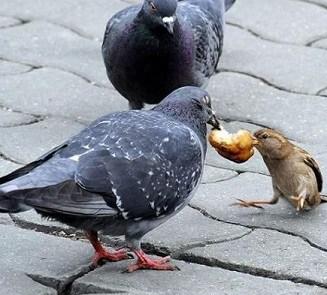12 Cara Menambah Nafsu Makan pada Burung Merpati
