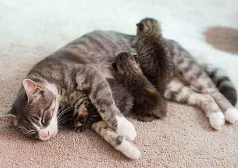 8 Cara Agar Induk Kucing Mau Menyusui Anaknya