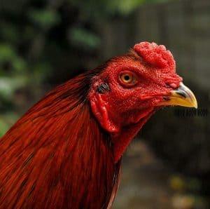 Cara Mencegah Flu Burung Pada Ayam ArenaHewan com