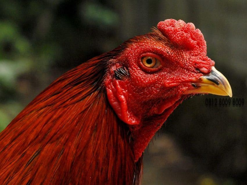 Cara Mencegah Flu Burung Pada Ayam