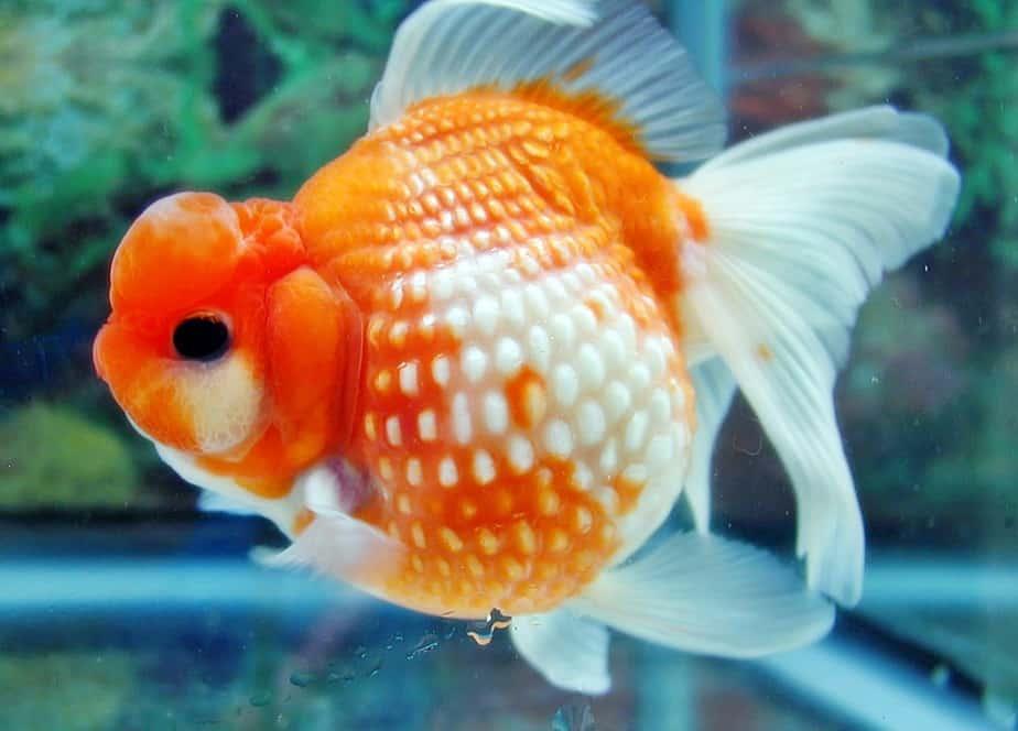 5 Cara Menghilangkan Parasit Pada Ikan Mas Koki Arenahewan Com