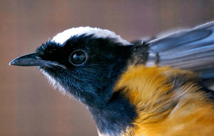 Cara Mengobati Katarak Pada Burung Kacer