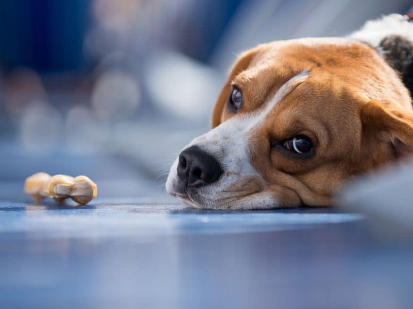 8 Efek Antibiotik Pada Anjing yang Harus Diwaspadai
