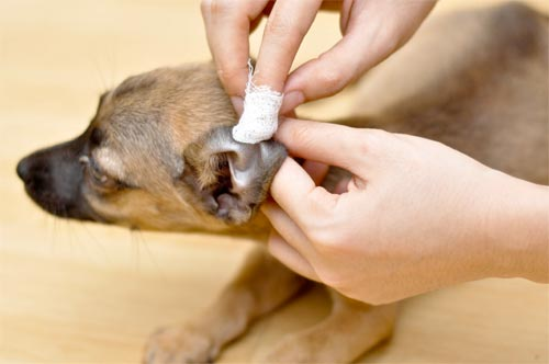 7 Jenis Penyakit Telinga Pada Anjing – Cara Mengatasi