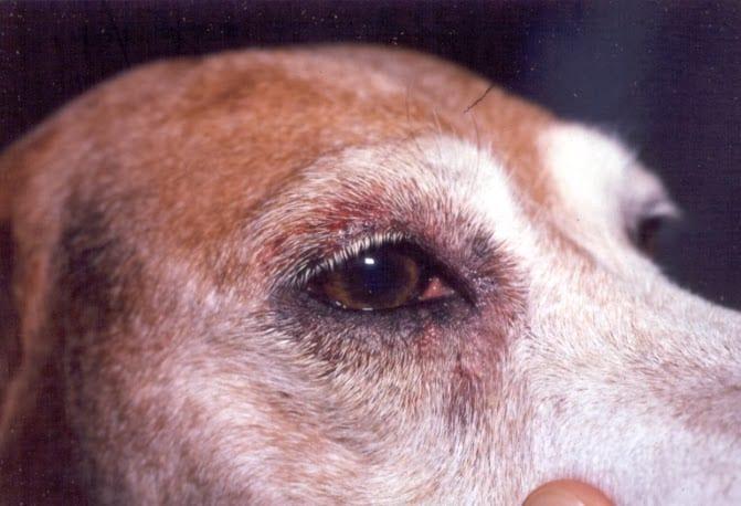 7 Jenis Sakit Mata Pada Anjing – Cara Mengatasi