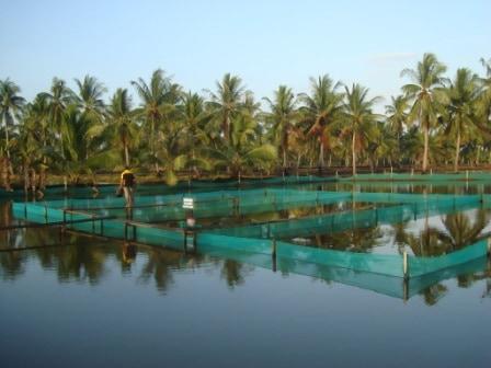 6 Cara Menumbuhkan Plankton Pada Tambak Udang