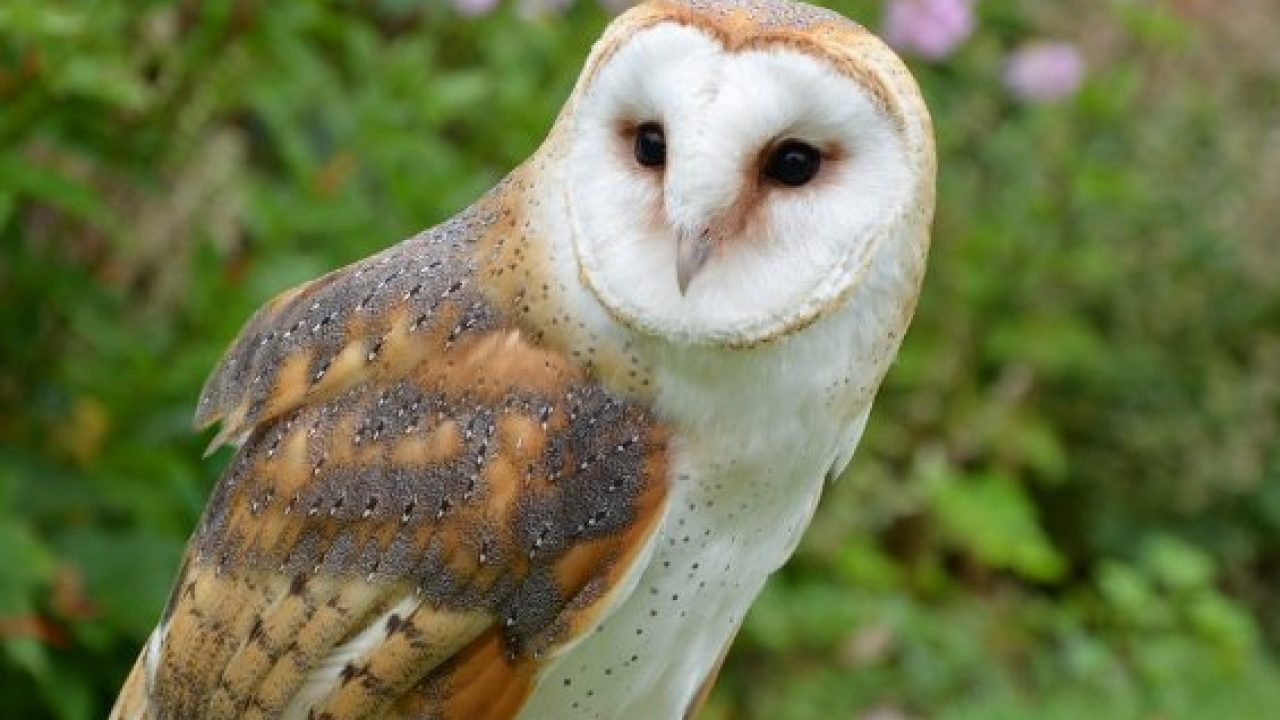 13 Cara Mencegah Tetelo Pada Burung Hantu Arenahewan Com