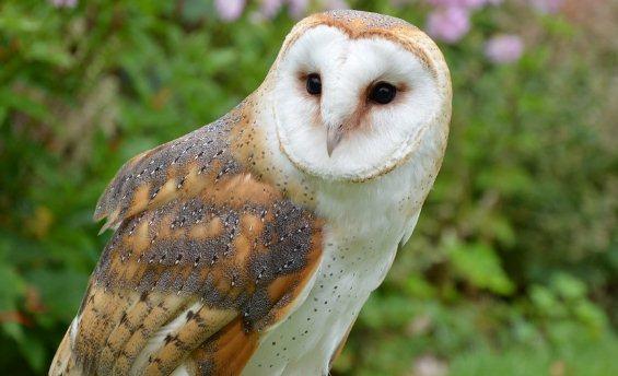 13 Cara Mencegah Tetelo Pada Burung Hantu