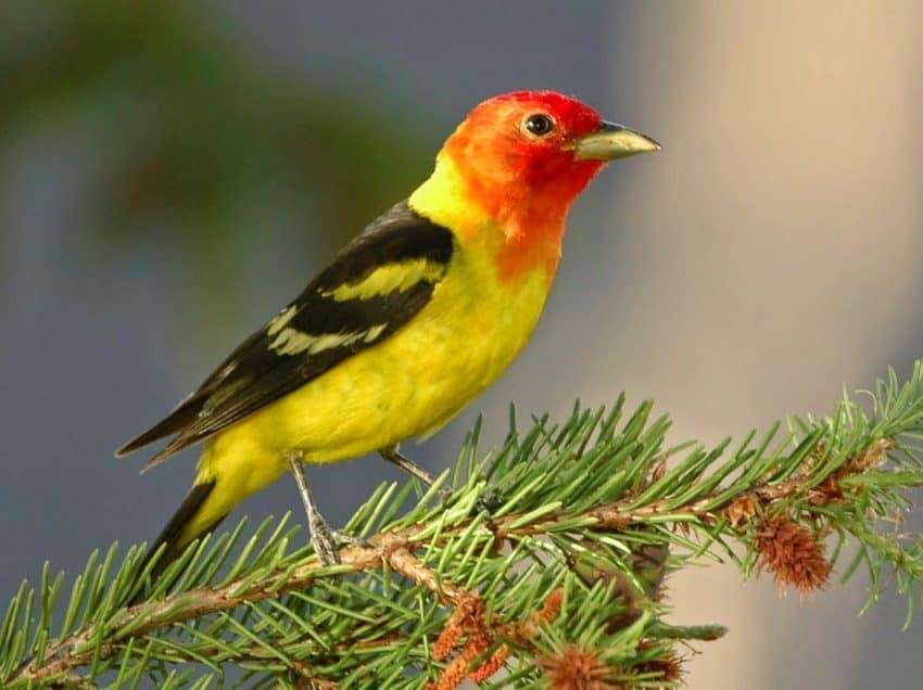 10 Cara Mengobati Jamur Pada Burung Kenari