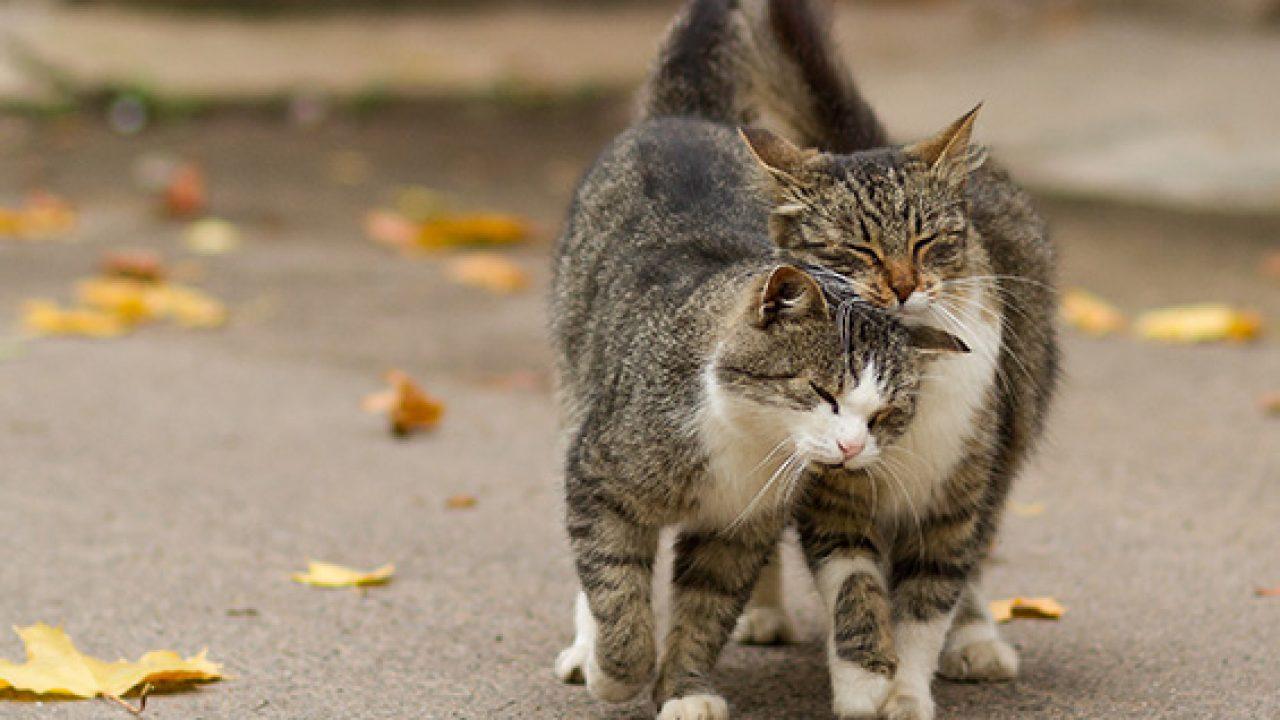 Gambar Kucing Jantan godean.web.id