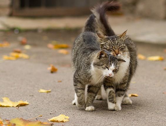 8 Cara Agar Kucing Jantan Mau Kawin