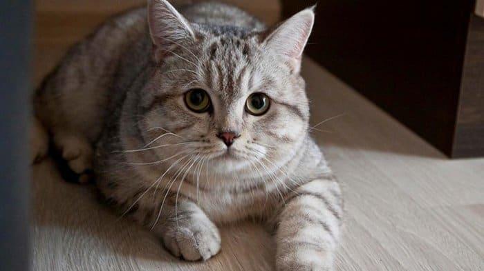 7 Cara Mengobati Bau Mulut Pada Kucing Secara Alami