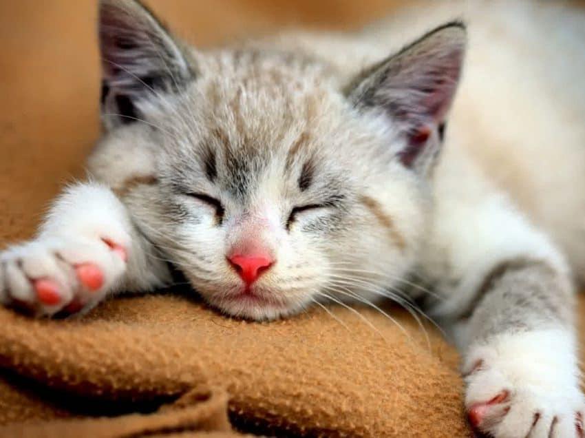 7 Cara Mengobati Radang Tenggorokan Pada Kucing