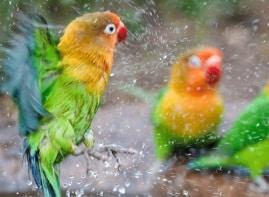 12 Cara Hilangkan Kutu pada Burung Lovebird