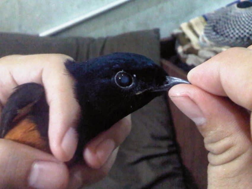 7 Pengobatan Burung Katarak Menggunakan Daun Kitolid