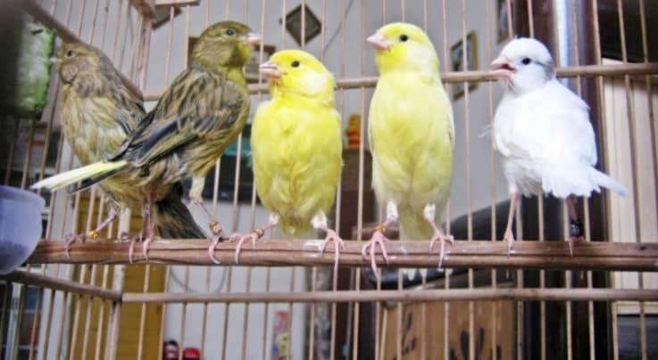 7 Obat untuk Burung Sesak Nafas