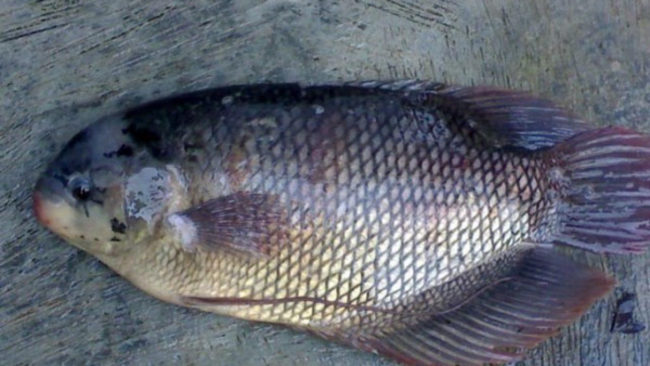 8 Pengobatan Jamur Pada Ikan Gurame Arenahewan Com
