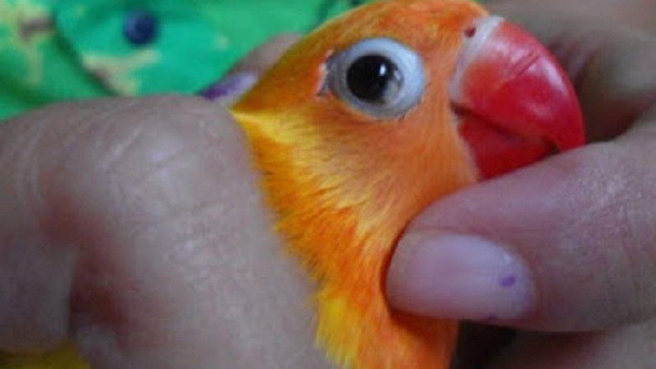 8 Obat Untuk Burung Lovebird Sakit Arenahewan Com