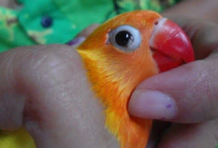 8 Obat untuk Burung Lovebird Sakit