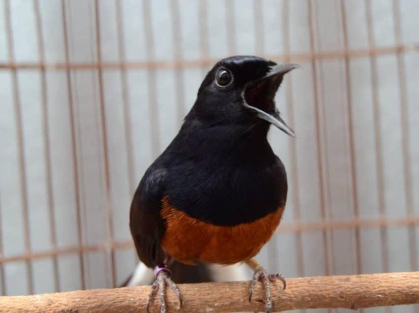 8 Obat untuk Burung Murai Stres Paling Mudah Didapatkan