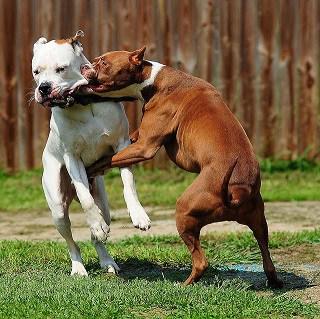 11 Cara Melatih Anjing Agar tidak Berkelahi