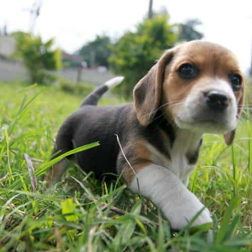 10 Tips Memelihara Beagle