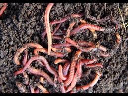 11 Cara Ternak Cacing Tanah bagi Pemula
