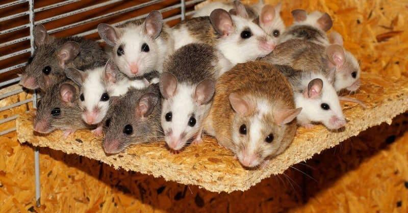 Ternak Hamster Koloni Yang Dapat Memberikan Hasil Lebih Maksimal